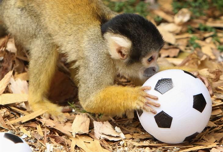 affe-und-fussball