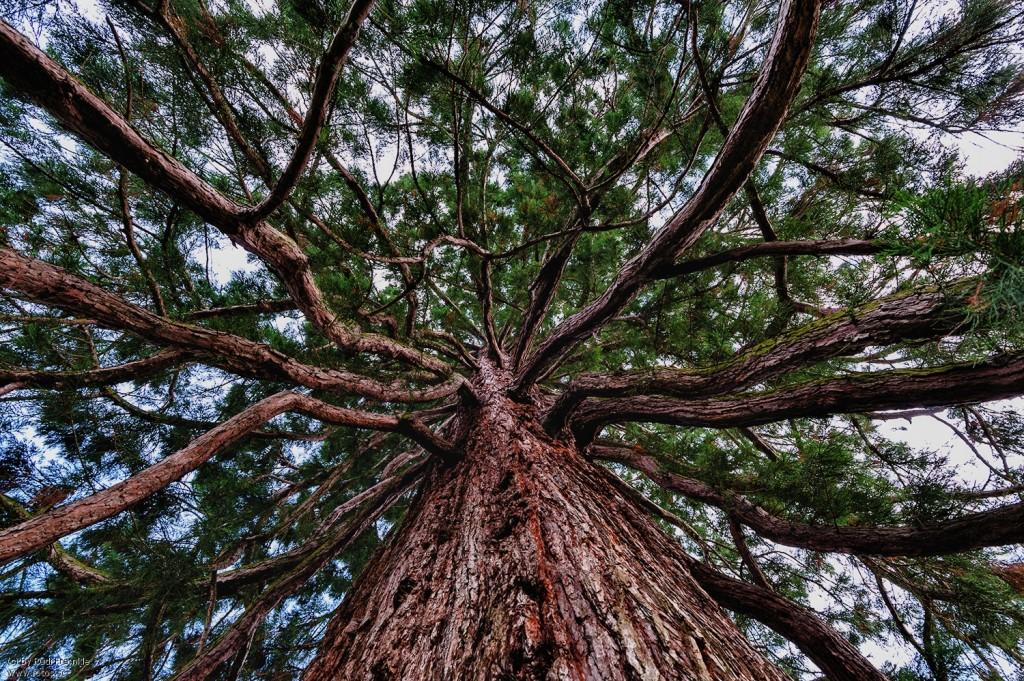 mammutbaum-ast-gabelung